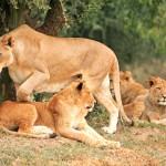 Lioness Leadership